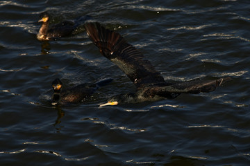 cormorant - it swims well and dives, plumage is not waterproof, beautiful bird