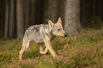 Canis lupus - Young cub of Grey wolf walk in forest