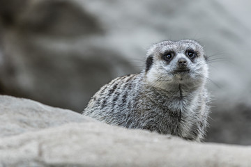 Meerkat sitting on top of rock