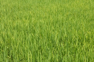 Vibrant green rice growing in a paddy field on a plantation in central Vietnam.