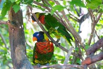 Two Rainbow Lorikeets Perched in a Tree