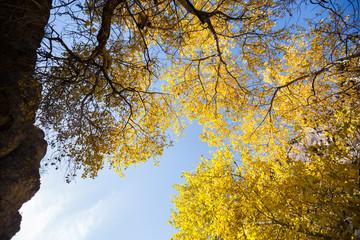 Golden autumn trees in semi-arid zone Charyn