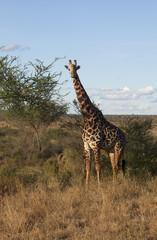 Giraffe in  Tsawo National Park, Kenya