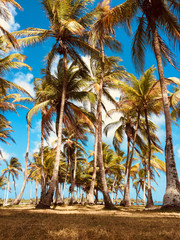 coconut palm trees on blue sky  background -   summer time