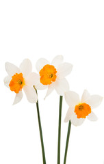 Photo sur Aluminium daffodils isolated