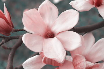 Photo sur Plexiglas Magnolia Pink magnolia flowers on magnolia tree