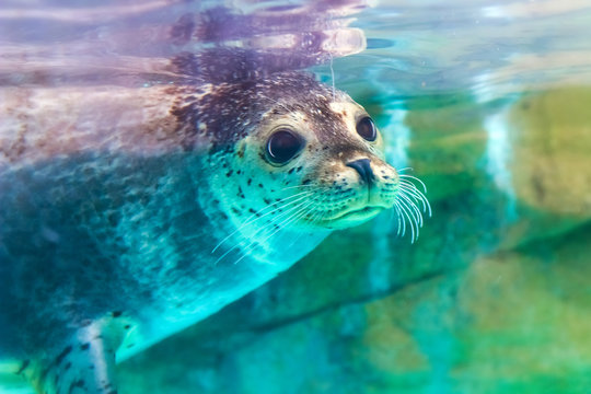 close up portrait of very cute spotted seal
