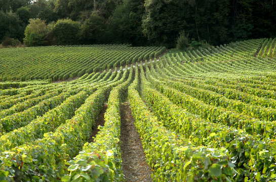 Vignes et raisins vers Epernay, Champagne, France