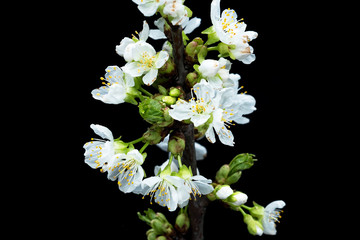 Fototapete - Kirschblüte