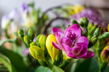 yellow and purple or pink freesia