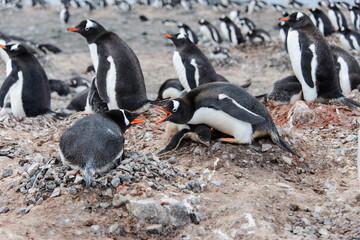 Gentoo penguin in nest aggressive open beak