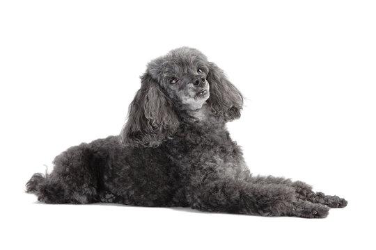 gray poodle lying isolated