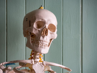 Medical Skeleton for University Doctor
