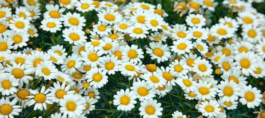 White wild daisies