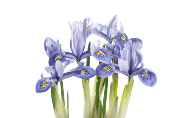 Spring irises of blue color isolated on white background.