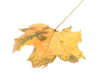 Leaf of maple close-up.