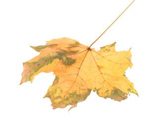 Leaf of maple close-up.