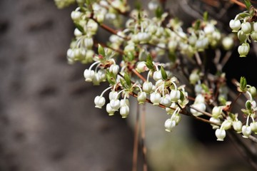 "Bell shaped white flowers of ""Enkianthus"""