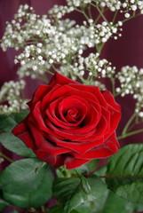 Rose rouge posée sur un tissus bordeaux