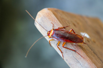 cockroach insect on wooden