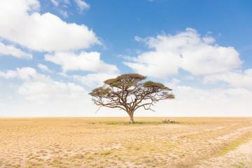 Solitary acacia tree in African savana plain in Kenya, Amboseli Natural Park, Africa.