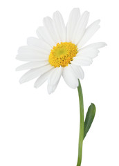 Foto op Canvas Madeliefjes Lovely Daisy (Marguerite) isolated on white background.