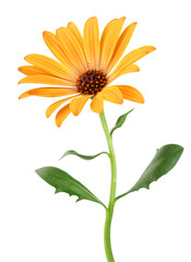 Colorful Daisy (Marguerite, Bornholmmargerite) isolated on white background.