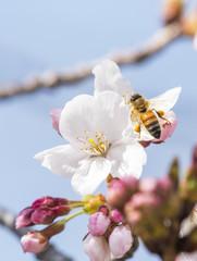 Honey bee flying around cherry blossom