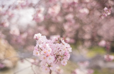 Spring flowers background with pink blossom, blooming garden