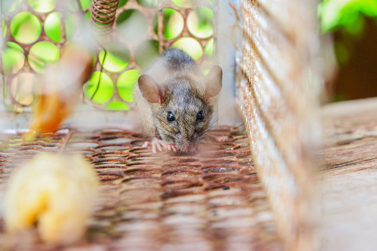 Rat trap in steel cage on wooden