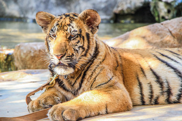 Cute tiger big cat animal in zoo