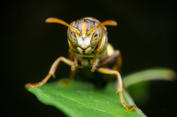 portrait of hornet on green leaves. dangerous insect and poisonous make human hurt.