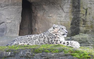 Snow Leopard lying on a rock ledge