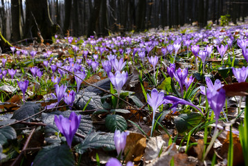 meadow with wild crocuses in forest. beautiful springtime scenery on a sunny day. power of nature concept