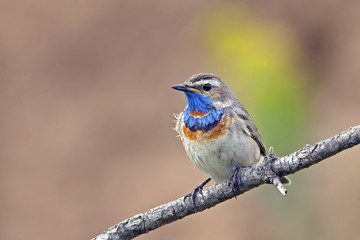 beautiful Bluethroat with a colorful plumage