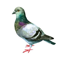 Watercolor illustration. Picture of a dove.