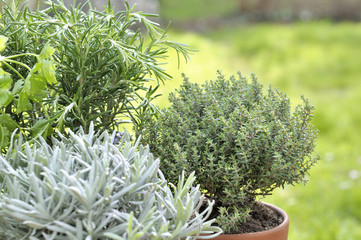 close on thyme potted with sage and rosemary in garden
