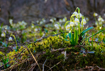 bunch of snowflake flowers on a mossy hump. lovely springtime background