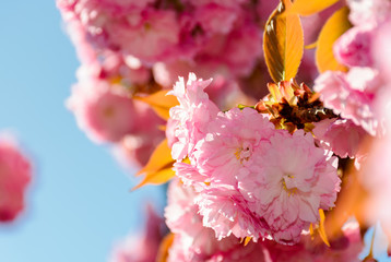 beautiful flowers of cherry blossom on a sunny day. lovely springtime background
