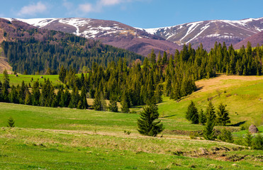 spruce forest on grassy hills in springtime. gorgeous landscape of Carpathian mountains with snowy tops in the distance