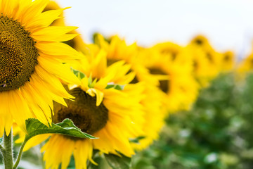Yellow sunflower in field close-up