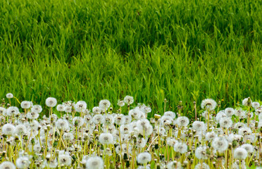 fluffy dandelions in the tall grass. beautiful nature background