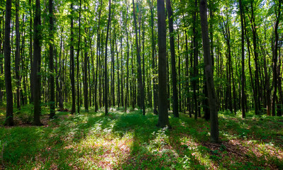 dense beech forest with tall trees. beautiful nature background