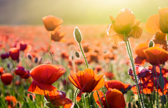 poppy flowers on the field in sunlight. beautiful summer nature background