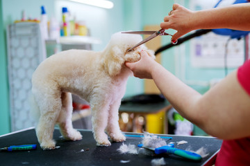 White little cute dog being trimmed by a young female hairdresser that is holding scissors.