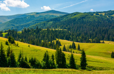 beautiful summer landscape in mountains. spruce forest on a grassy hills. lovely nature concept