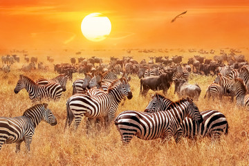 Fotobehang Zebra Herd of wild zebras and wildebeest in the African savanna against a beautiful orange sunset. The wild nature of Tanzania. Artistic natural image.