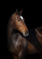 Portrait of a bay horse look back on black background isolated