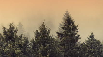 spruce trees in the meadow in the mist