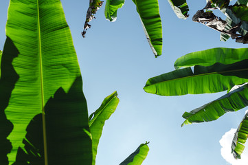 Banana tree branches in a blue sky in Salento, Colombia